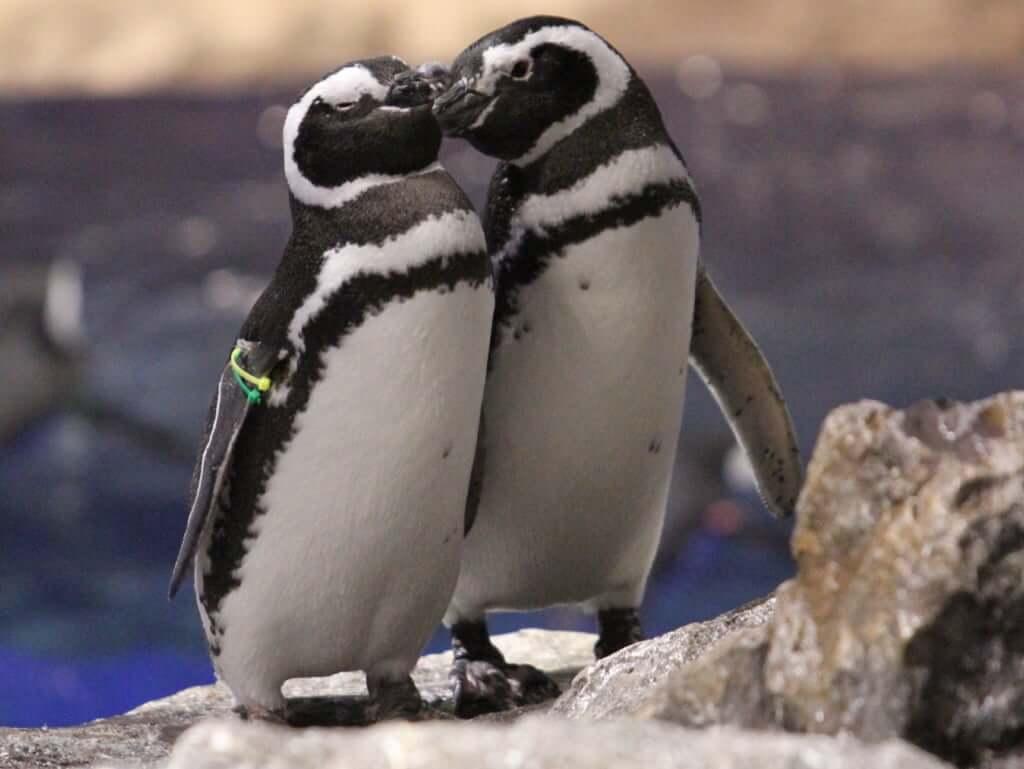 2羽の赤ちゃんを産んでいる夫婦ペンギンのローズ(♂)とわらび(♀)