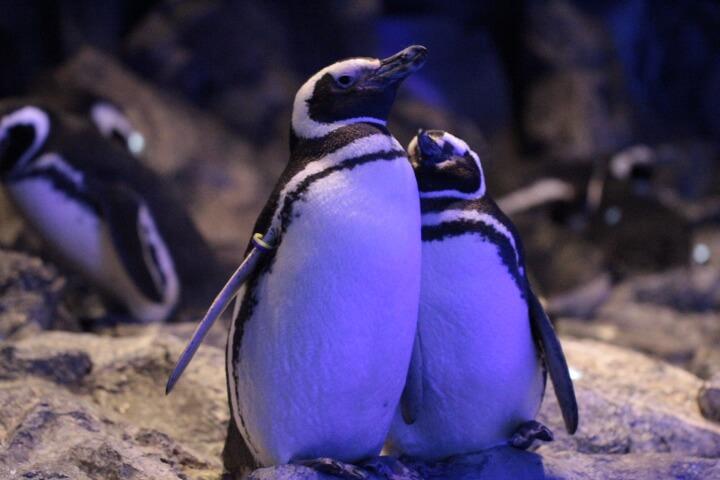 初々しいペンギンカップルのアジサイ(♂)とチョコ(♀)